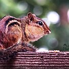 """""""Mr. Chippy Early Morning Snatch & Grab"""" by Melinda Stewart Page"""