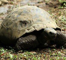 Giant Tortoise by rhamm