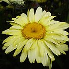 Daisy Yellow by charmedy
