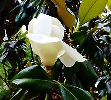 Moment of Magnolia by Scott Mitchell