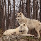 The Arctic Wolf Pair in fall by Josef Pittner