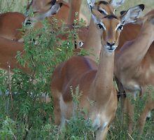 Impala on the Masai Mara National Park by KACPhotos