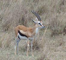 Infant Thomson's Gazelle on the Masai Mara by KACPhotos