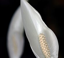 Peace Lily Flower by Debbie Oppermann