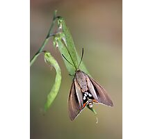 Palm Moth  Photographic Print