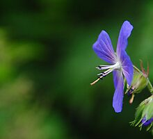 Wild Geranium  by Photography  by Mathilde