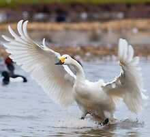 Wild Bewick's swan about to land by Dave  Knowles