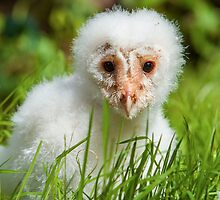 Barn Owl chick by Dave  Knowles