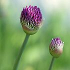 Shadowed Allium Buds - Purple And Green by Debbie Oppermann