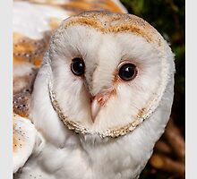 Barn owl head and face by Dave  Knowles