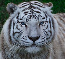 White Tiger by hervis