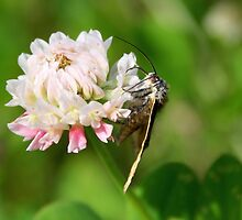 Burnet Companion Moth on White Clover by Jo Nijenhuis