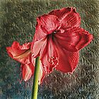 Amaryllis  by Avril Harris