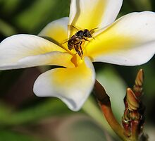 Visiting The Plumeria Blossom by heatherfriedman