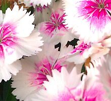 Pink and White flowers by Hali Simmons