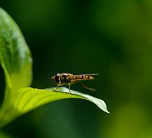 Hoverfly resting by GD-Images