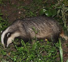 British Badger 2 by Rivendell7