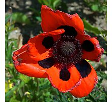 Poppy in the sun Photographic Print