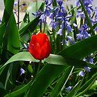 Red Tulip by WildestArt