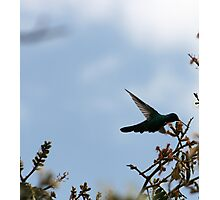 Sparkling Violetear Hummingbird Photographic Print