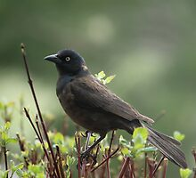common grackle on the lookout by snowyo