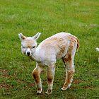 Baby Llama - Yoder's Farm  ^ by ctheworld