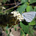 Greenish Blue Butterfly by Chris Gudger