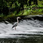 Heron in the Tolka River by Martina Fagan