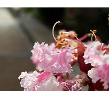 DETAIL OF A CREPE MYRTLE  Photographic Print