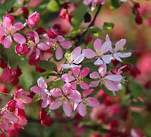 Crab Apple Blossom by EvieRose