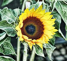 Sunflower by brijo