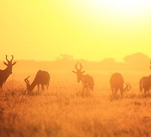 Red Hartebeest - Golden Symmetry - African Wildlife by LivingWild