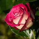"""Cherry Parfait"" Tea Rose by Sandra Chung"