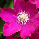 Pretty Clematis by lorilee