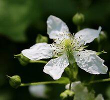 Wild Raspberry Blossom by Kathleen Daley