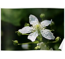 Wild Raspberry Blossom Poster