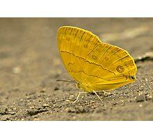 Amathusiidae Photographic Print