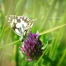 """"""" Marbled White """" by Richard Couchman"""