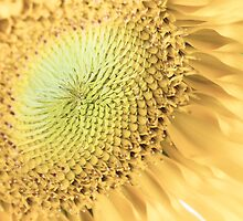 Sunflower Macro by Eric Ziegler