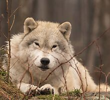 A resting Arctic Wolf - Montobello, QC by Josef Pittner