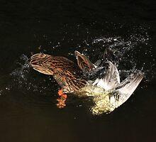 Female mallard diving by turniptowers