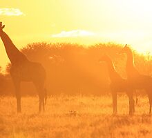 Giraffe - Yellow Beauty - African Wildlife Background by LivingWild