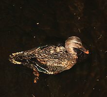 Female mallard surfacing from dive by turniptowers