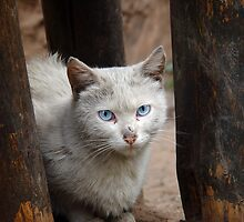 Blue Eyed Cat by Adrian Connock