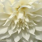 Whipped Cream Dahlia by © Kira Bodensted