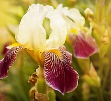 Iris by afeimages