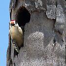 Woodpecker Observing. by vette