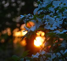 Dogwood at sunset by NinjaOtt3r