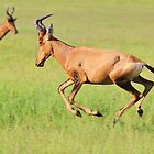 Red Hartebeest - Running Colors - African Wildlife by LivingWild