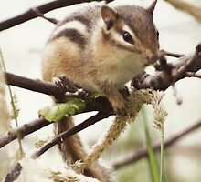 Chipmunk... by Karen  Helgesen